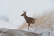 White-tailed Deer Buck crossing a dirt road, Western Montana