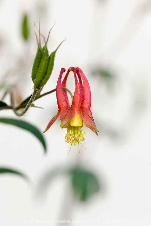The delicate red and yellow flowers with a the spiky seed capsule of Aquilegia canadensis (Canadian or Canada Columbine, Eastern Red Columbine, Wild Columbine) is a herbaceous perennial native to woodland and rocky slopes in eastern North America.