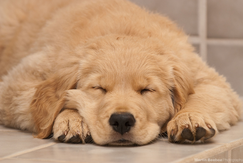 A ten-week-old golden retriever puppy sleeps hard after playing