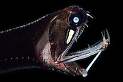 [captive] Loosejaw fish (Malacosteus niger) with a light organ beneath its eye. The are also called black dragonfish (Malacosteus niger) and are a deep sea fish mainly preys on copepods. This species is among the small group of deep sea fishes that are able to emit red light and also to see it. This has only lately been revealed by scientists. The black dragonfish shines on its prey to see it without the prey even noticing that it is floodlighted – and without ringing the dinner bell for other predator species. [size of single organism: 6 cm]. Atlantic Ocean, close to Cape Verde | Schwarzer Drachenfisch (Malacosteus niger)
