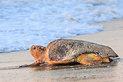A picture of a Loggerhead sea turtle making her way back to the ocean after laying her eggs on an Outer Banks beach.