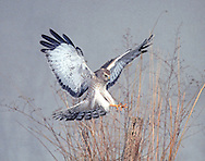 A 2nd year male Northern Harrier alighting on fence post, winter (se Indiana)