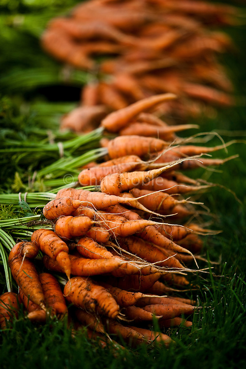 Bunches of freshly harvested organic carrots at Bell Organic Gardens in Draper Utah.