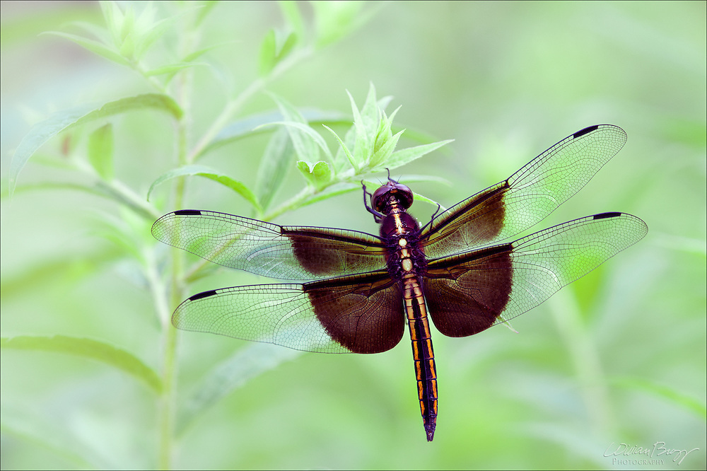 Hanging onto a Dream - Widow Skimmer
