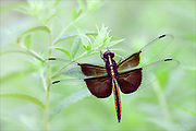 Hanging onto a Dream - Widow Skimmer