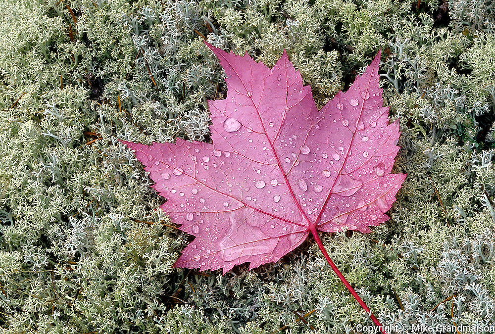 Rain drops on red maple leaves (Acer rubrum) on lichens<br /> Near Sioux Narrows<br /> Ontario<br /> Canada