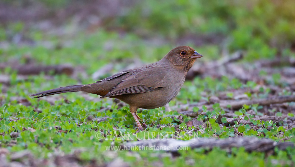 A california towhee pauses from looking for food briefly