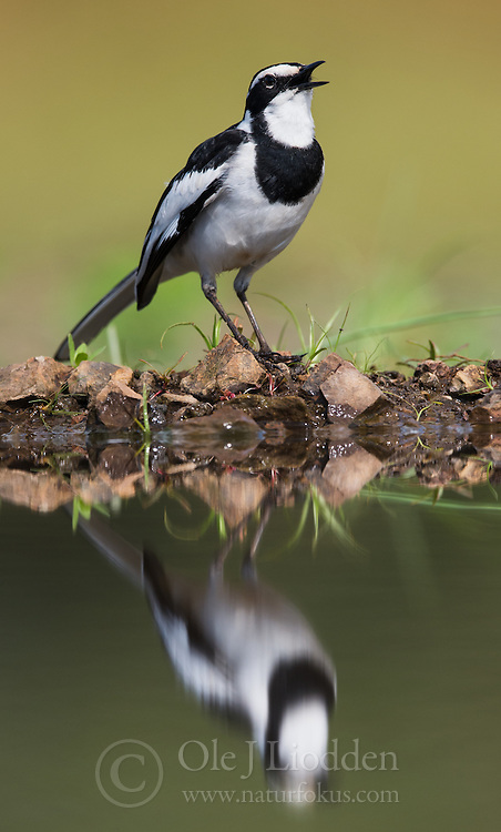African Pied Wagtail (Motacilla aguimp) in Zimanga, South Africa