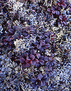 Tundra Plants, Tundra, Frost, Ice, Fall Colors, Fall, Autumn, Denali, Denali National Park, National Park, Alaska