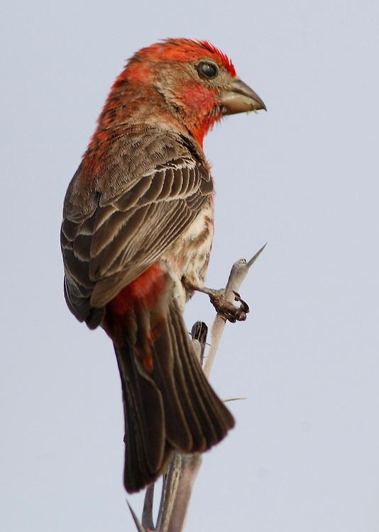 Finch, Bird, Ventana Bay, El Sargento, Sea of Cortez, Baja California Sur, Mexico