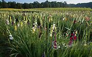 Gladiolus flowering in a field in springtime.