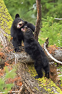 Two black bear cubs-of-the year have a bit of a disagreement during one of their play session.  Like any siblings, they sometimes just don't get along.