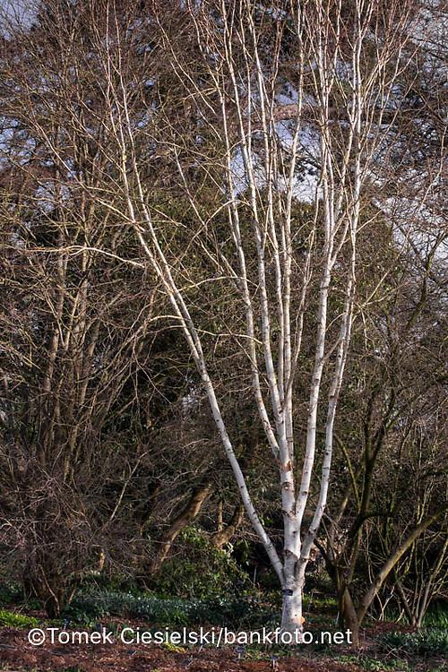 Betula utilis var jacquemontii 'Grayswood Ghost'