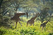 Giraffe's in Lake Nakuru National Park, Kenya