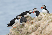 Two pairs of Atlantic puffins (Fratercula arctica) rub their bills together, a display known as billing, to select a mate at the top of the Látrabjarg bird cliff in western Iceland. Látrabjarg is Europe's largest bird cliff: 14 km (8.7 miles) long and up to 440 meters (1444 feet) high. It hosts up to 40 percent of the breeding populations of some species.