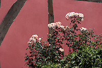 pink roses against a red painted timber framed house in Shrewsbury.
