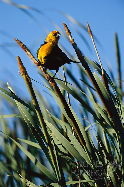 A yellow-headed blackbird sits on a cattail in a wetland.  Nebraska Sandhills.