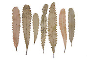 Banksia Leaves, Banksia serrata