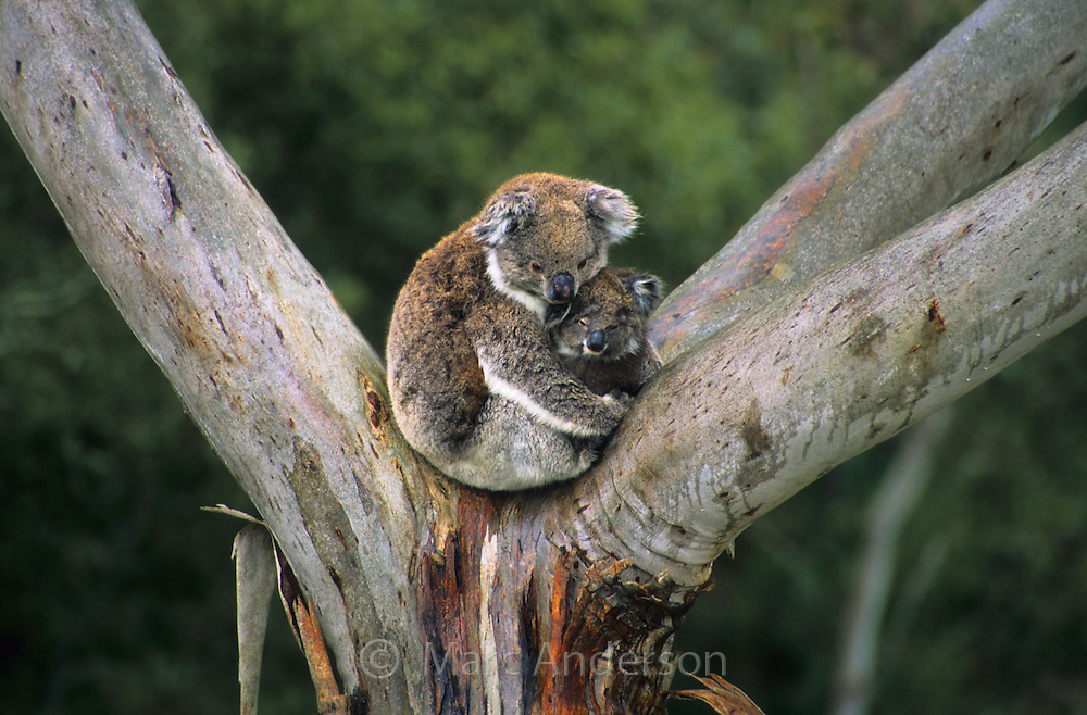 A Koala and a joey sitting in a Eucalyptus tree.