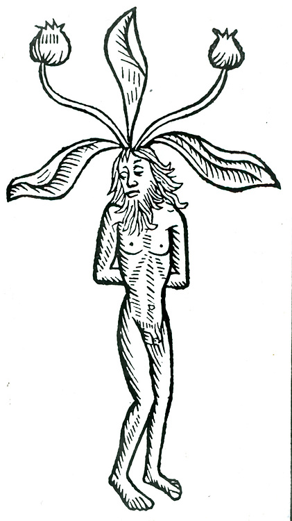 Male Mandrake plant.Woodcut from Johannis de Cuba 'Ortus Sanitatis', Strasbourg, 1483.  A soporific was obtained from the root and its properties were probably known to the Babylonians. Roman army surgeons are said to have used Mandrake wine as an anaesthetic.