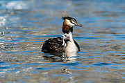 Comfortably resting on the back of its parent, an Australasian Crested Grebe chick peers ahead at the vast Lake Wanaka.