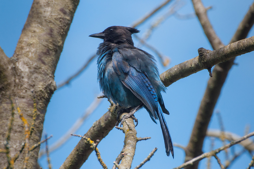 Steller's Jay (Cyanocitta stelleri), Seattle, Washington, US