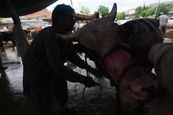 September 2, 2017 - Rawalpindi, Punjab, Pakistan - A man controls a bull before a sacrifice slaughter during Eid al-Adha celebrations. (Credit Image: © Zubair Abbasi/Pacific Press via ZUMA Wire)