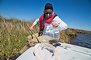 April 9, 2014,  Plaquemines Parish, Louisiana, Louisiana State University entomologist Linda Hooper-Bui collects insects and sediment samples in Bay Jimmy, one of the areas hardest hit by the BP oil spill. <br /> <br /> Hooper-Bui has been monitoring the declining  insect populations since the Macondo well blew out on April 20, 2010. Almost four years since the  BP oil spill, Hooper Bui has found a dramatically decreased insect population in the areas the were coated with oil.
