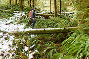 David Page crosses a snow covered rain forest log. Gold River, Vancouver Island, BC