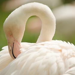 Portrait of a pale rose flamingo.