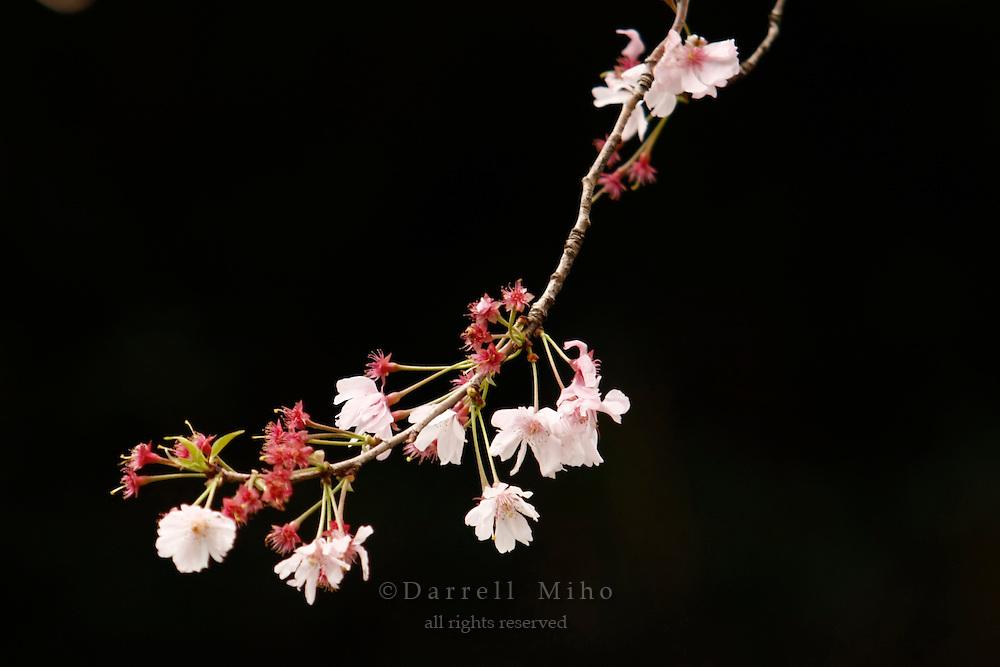 April 9, 2008; Tokyo, Japan - Cherry Blossoms at Aoyama Cemetery...Photo credit: Darrell Miho