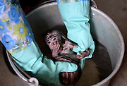 """LIUZHOU, CHINA - DECEMBER 11: (CHINA OUT) <br /> <br /> Long-Tailed Macaque's Happy Winter<br /> <br /> A male long-tailed Macaque baths at Liuzhou Zoo on December 11, 2014 in Liuzhou, Guangxi province of China. A long-tailed Macaque named """"Guaiguai"""" lost his mother when he was born two months ago and feeders of Liuzhou Zoo have much concern over poor """"Guaiguai"""". <br /> during the first few days now he seems a lot happier after his sad loss.<br /> ©Exclusivepix Media"""