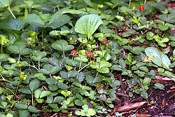 July 2007: Wild strawberries, Chattanooga Nature Center.  Attractions near Chattanooga Tennessee. Point Park, National Park Service - Lookout Mountain, TN.