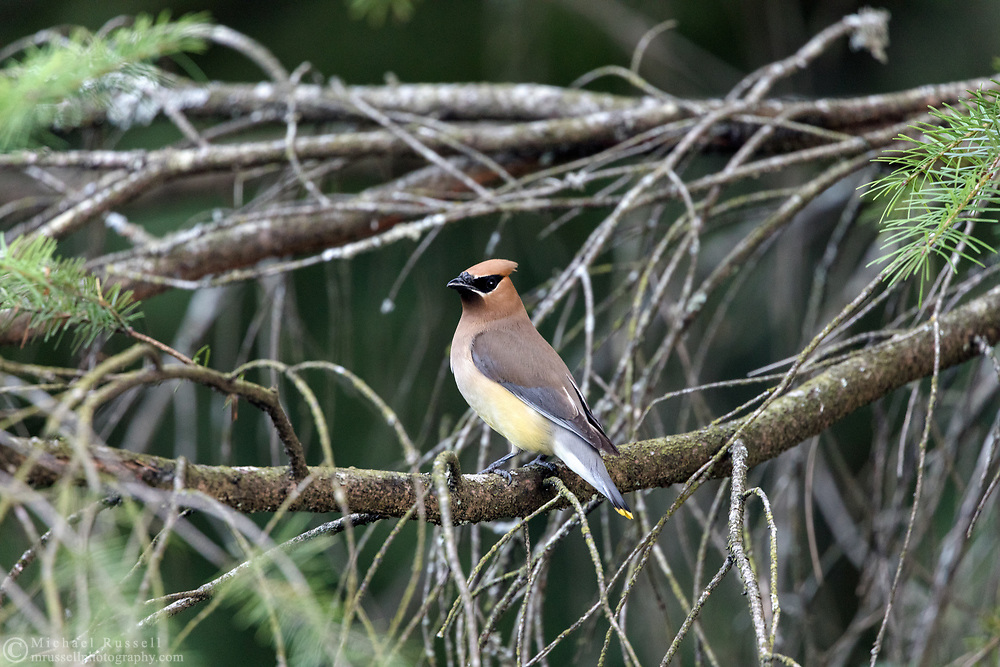 Adult Cedar Waxwing (Bombycilla cedrorum) perched near the pond at Godwin Farm Biodiversity Preserve in Surrey, British Columbia, Canada