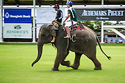 """28 AUGUST 2014 - BANGKOK, THAILAND: An elephant lumbers up the pitch (field) at the King's Cup Elephant Polo Tournament at VR Sports Club in Samut Prakan on the outskirts of Bangkok, Thailand. Each elephant carries two people, the polo player and mahout, who actually controls the elephant. The tournament's primary sponsor in Anantara Resorts. This is the 13th year for the King's Cup Elephant Polo Tournament. The sport of elephant polo started in Nepal in 1982. Proceeds from the King's Cup tournament goes to help rehabilitate elephants rescued from abuse. Each team has three players and three elephants. Matches take place on a pitch (field) 80 meters by 48 meters using standard polo balls. The game is divided into two 7 minute """"chukkas"""" or halves.      PHOTO BY JACK KURTZ"""