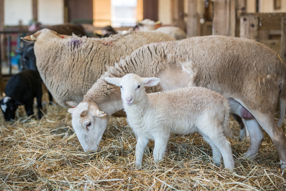 A ewe stands and eats next to her newborn lamb, College Park, Maryland