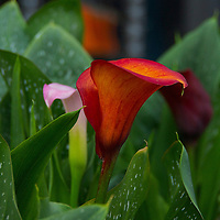 Red-orange Calla lily flower photographed in Rubicon, Wisconsin at Genetti gardens.