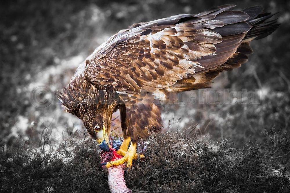 Havørn sitter på bakken og spiser | White-tailed Eagle on ground eating.