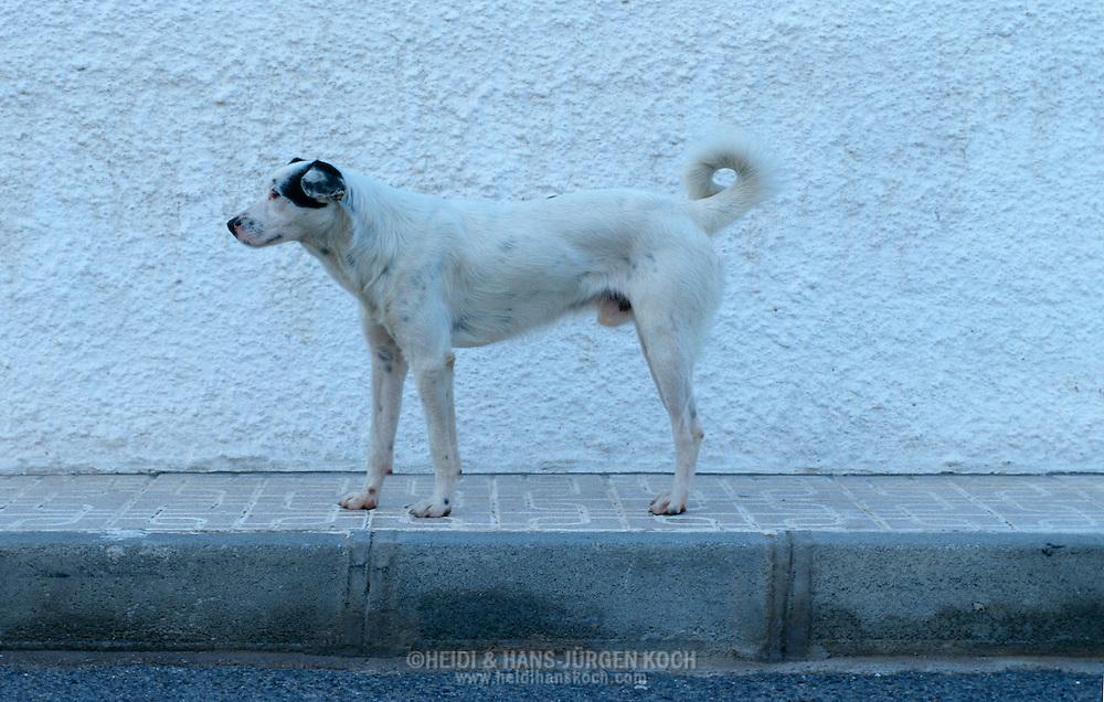 ESP, Spanien: Streunender Hund, Haushund (Canis lupus familiaris), weißer Hund vor einer weißen Wand, Nijar, Andalusien   ESP, Spain: Stray dog, domestic dog (Canis lupus familiaris), white dog in front of a white wall, Nijar, Andalusia  