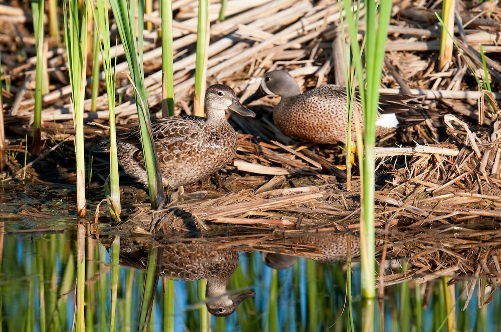 Blue-winged Teal, Anas discors, Brown County, South Dakota