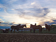 hitched horses at sunset