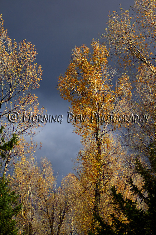 The golden leaves of cottonwood trees are contrasted against the backdrop of an approaching fall storm.