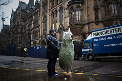 © Licensed to London News Pictures . 12/12/2015 . Manchester , UK . A woman with a fresh Christmas Tree waits for a taxi opposite Manchester Town Hall . People out shopping in the rain in Manchester City Centre this afternoon (Saturday 12th December 2015 ) . Photo credit : Joel Goodman/LNP