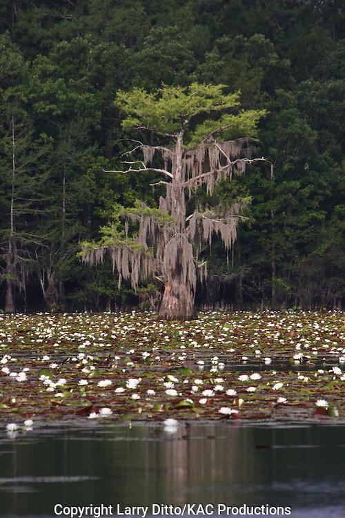 Bald Cypress (Taxodium distichum) and water lilies on Caddo Lake, Texas