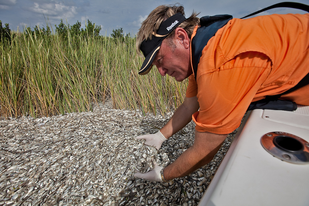 P. J. Hahn, director of the Coastal Zone Management Department of Plaquimines Parish collecting samples after the third fish kill in Bayou Robinson  so tests can be done to see if it is tide to the BP oil disaster. The predominant species found floating on the surface were menhaden, also called pogie, mixed with crab and catfish. Fish kills in Louisiana along the Gulf Coast  are a common occurrence at the end of the summer however their frequency and scale the summer of the oil disaster are unprecedented and until testing is done it is not possible to rule out rule out oil or dispersant factoring into the cause of low oxygen levels in the water that suffocates the fish.