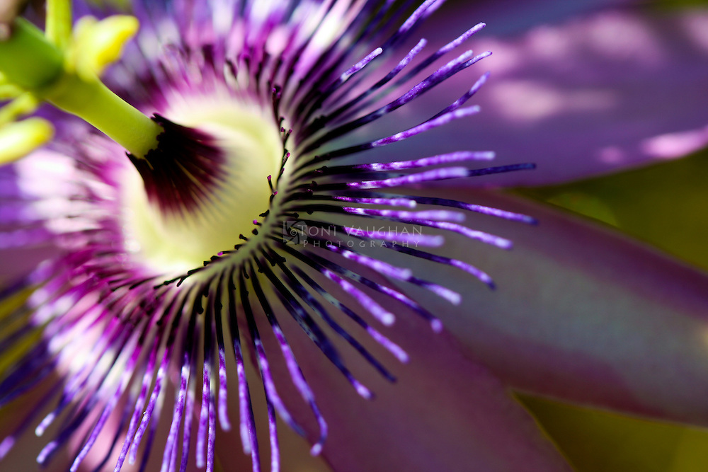 Passiflora, the passion flowers or passion vines, is a genus of about 500 species of flowering plants, the namesakes of the family Passifloraceae. Shot at the Desert Botanical Garden in Phoenix, Arizona.