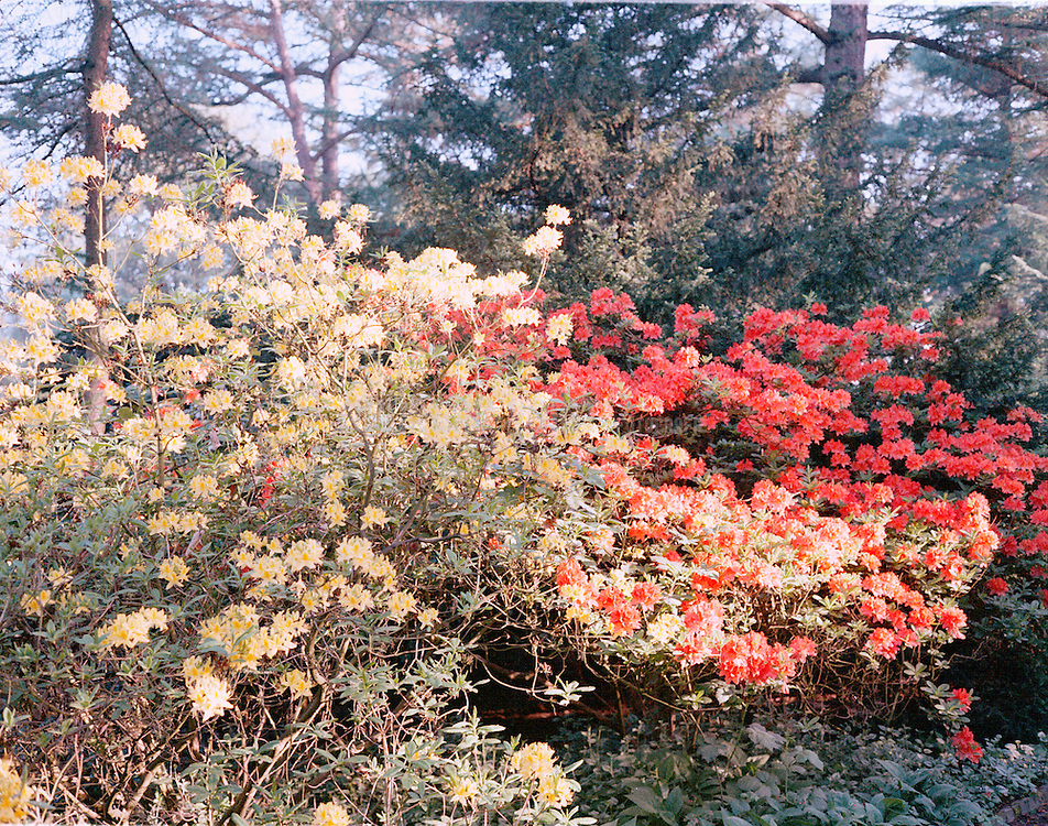 Rhododendron und Bäume im Stadtpark