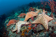 Cushion star fish, Oreaster reticulatus, crawl over a coral reef in Palm Beach, Florida.