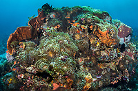 Bulb-tipped Anemones cover most of the surface area of a coral bommie<br /> <br /> This area is famous for its uniquely enormous population of anemones that carpet the seafloor.<br /> <br /> Shot in Indonesia