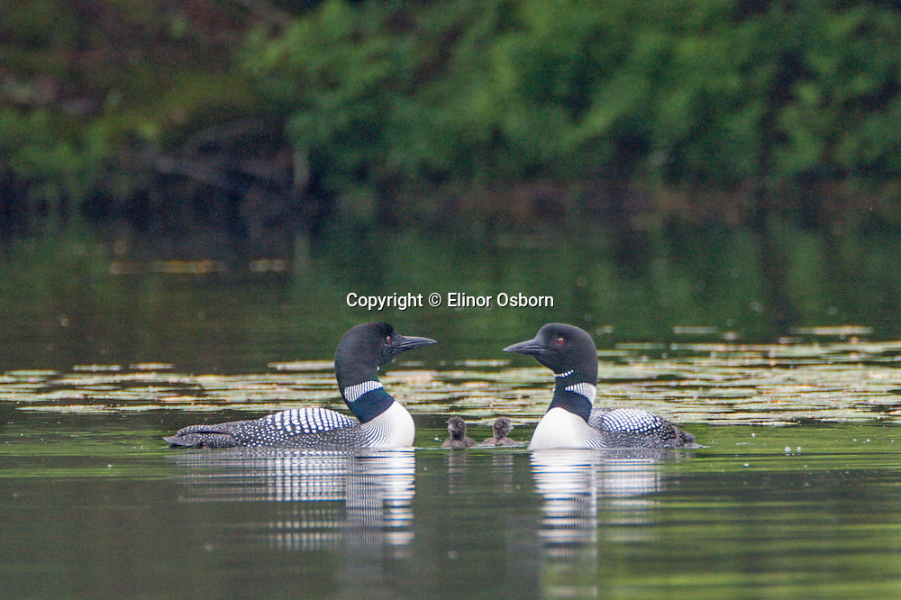 Common Loons and chicks